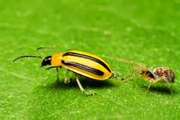 Striped Cucumber Beetle & Spider