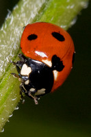 Six Spot Lady bug