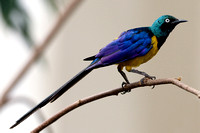 Royal Starling